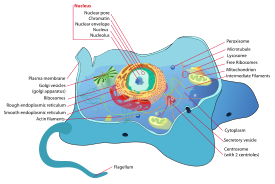 A Eukaryotic cell   http://en.wikipedia.org/wiki/Cell_(biology)#Eukaryotic_cells